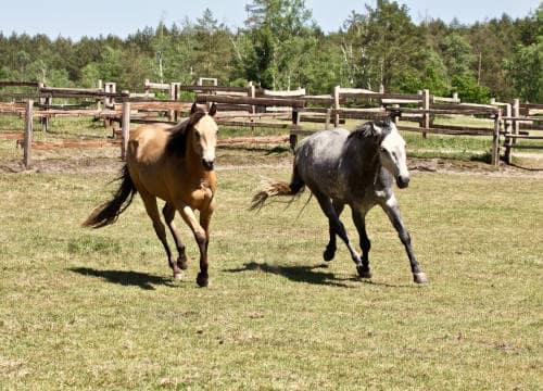 Galoppierende Pferde auf der Weide vom Reiterhof Severloh