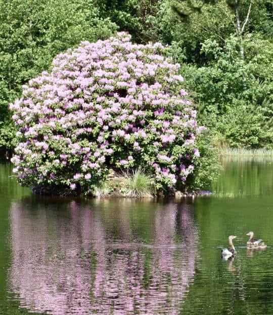 blühender Rododendron mit Entenfamilie Symbol für Familiengeschicht und Zukunft von Hof Severloh