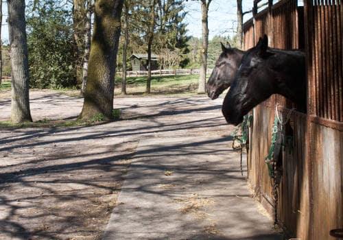 Pferde schauen aus den Stallungen unter dem Reithallendach auf Reiterhof Severloh