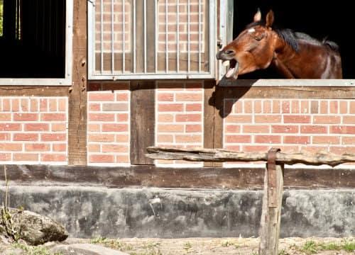 Pferd schaut aus der Box und flehmt im Urlaub mit Pferd