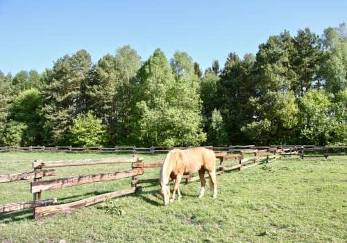 Haflinger grast auf der Weide vom Reiterhof Severloh