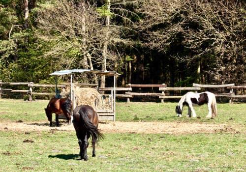Ponys fressen entspannt auf der Weide vom Reiterhof Severloh