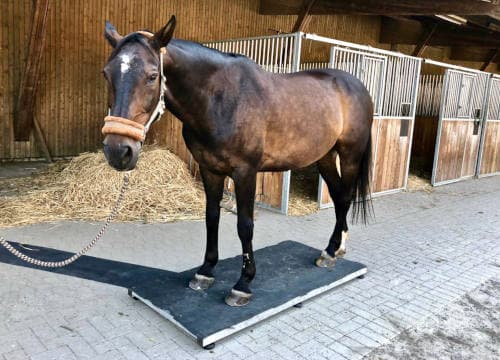 Pferd steht auf der mobilen Pferdewaage auf Reiterhof Severloh